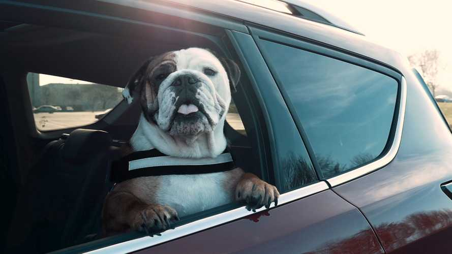 A third of drivers don't safely secure their dogs
