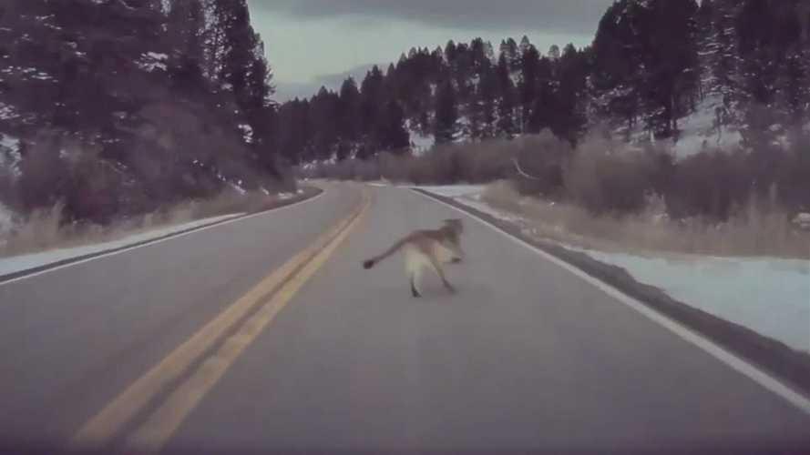 Tesla Autopilot Saves Wildlife: Brakes For Mountain Lion In Montana