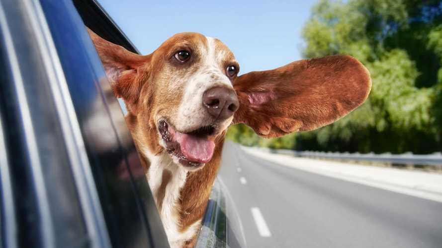 Rover vs Rover: what's more trouble, a classic car or a dog?