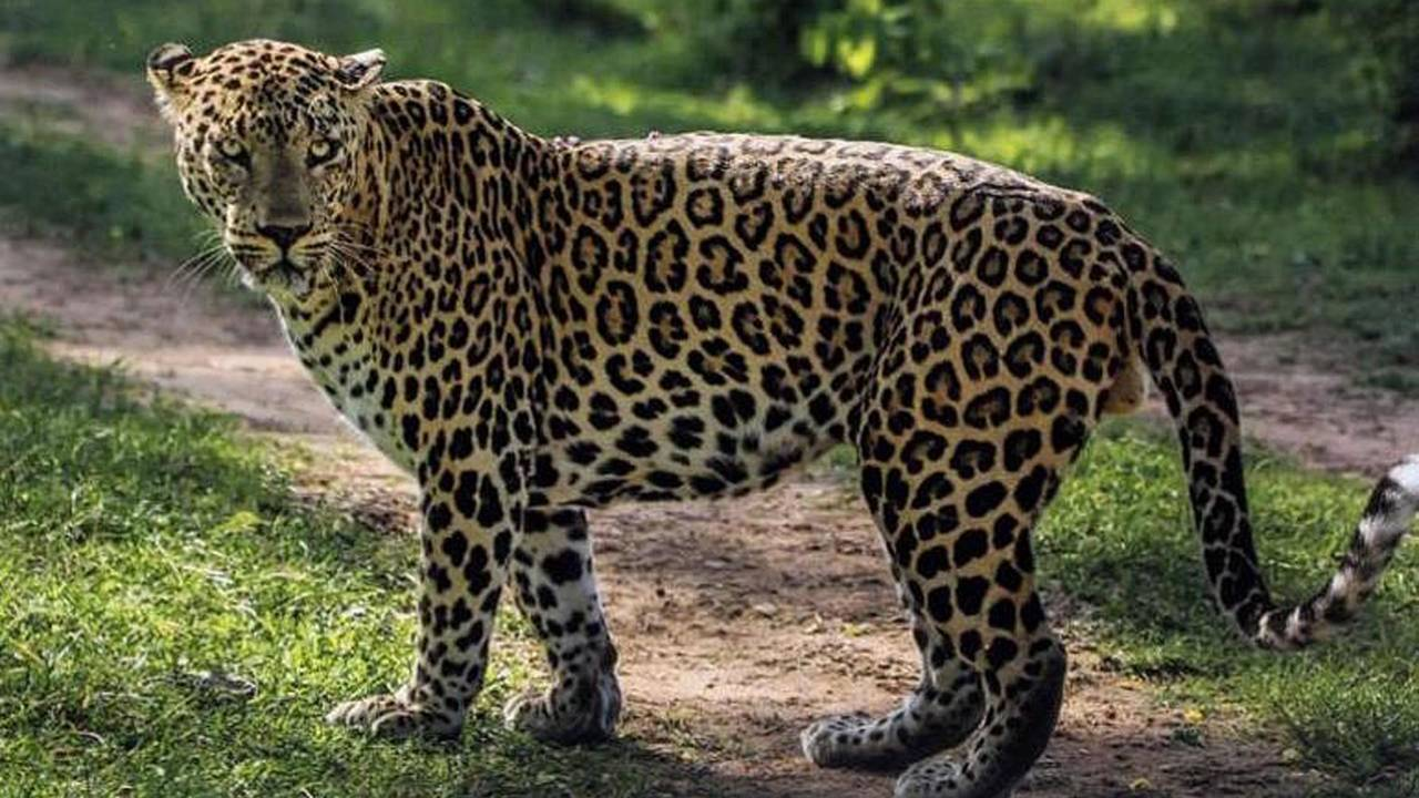 Freaking Leopard Keeps Attacking Motorcycle Riders