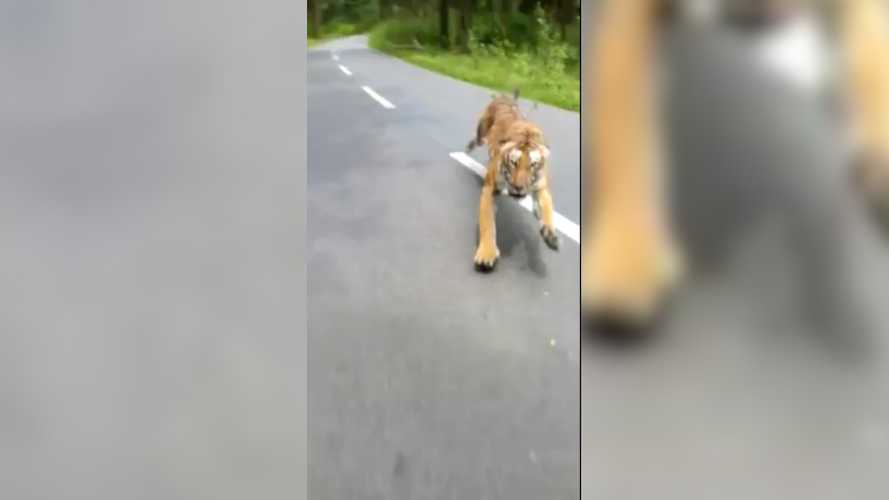 Watch these motorcyclists narrowly escape death by tiger