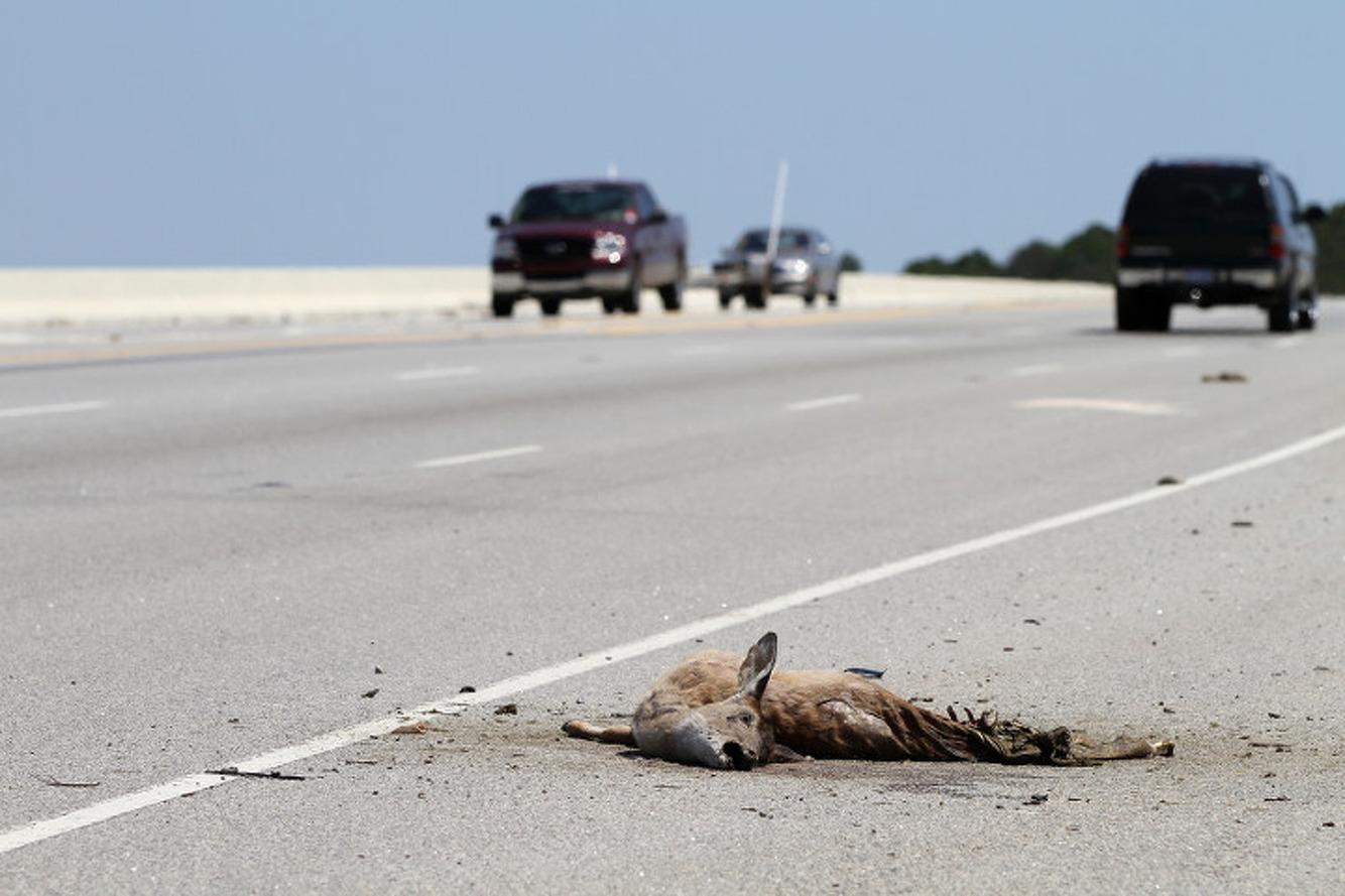 Roadkill for Dinner: Michigan Bill Would Make it Legal to Eat Dead Roadside Animals