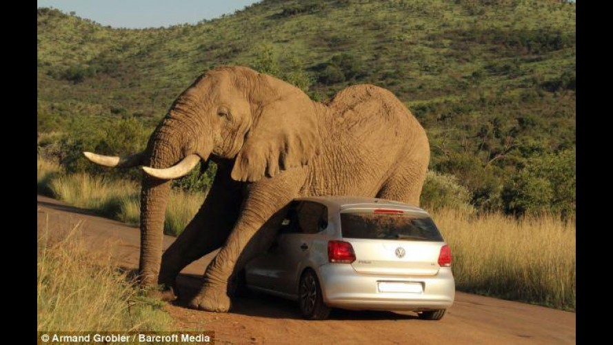 "Bizarro: elefante no cio se ""apaixona"" por Volkswagen Polo na África do Sul"