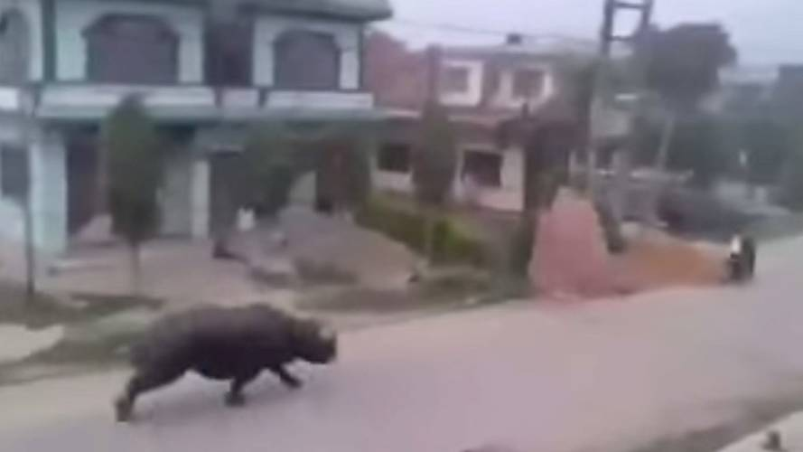 Watch a Rhino Chase a Scooter... Yes, a Rhino.