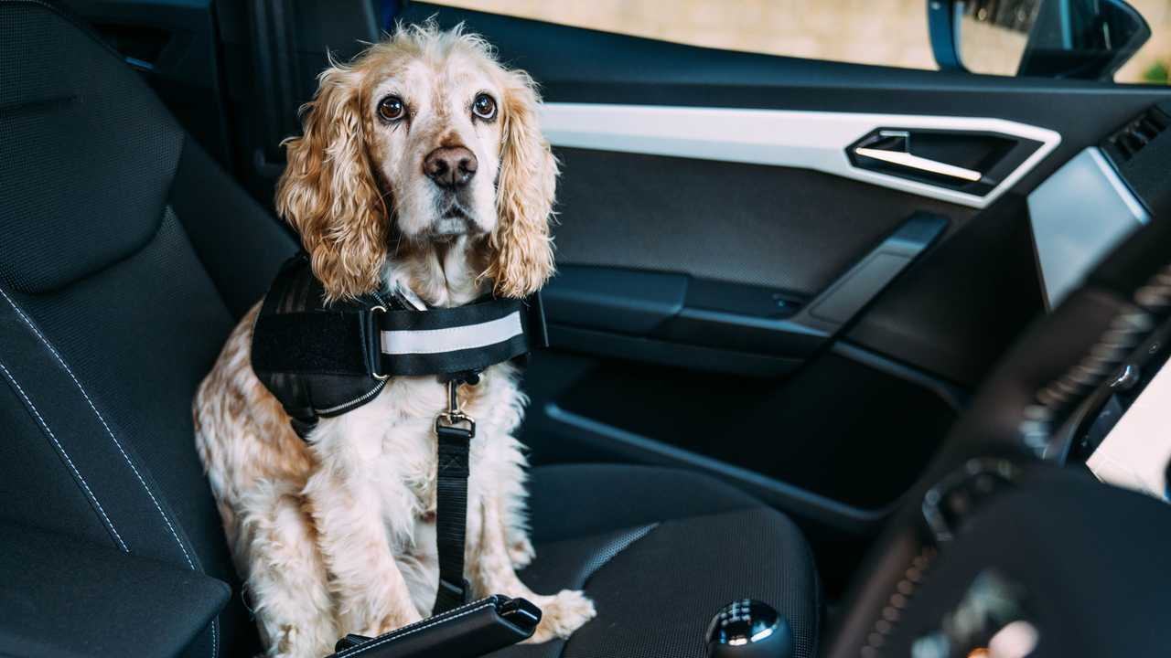 Drivers favour their dogs as much as their children when it comes to riding shotgun