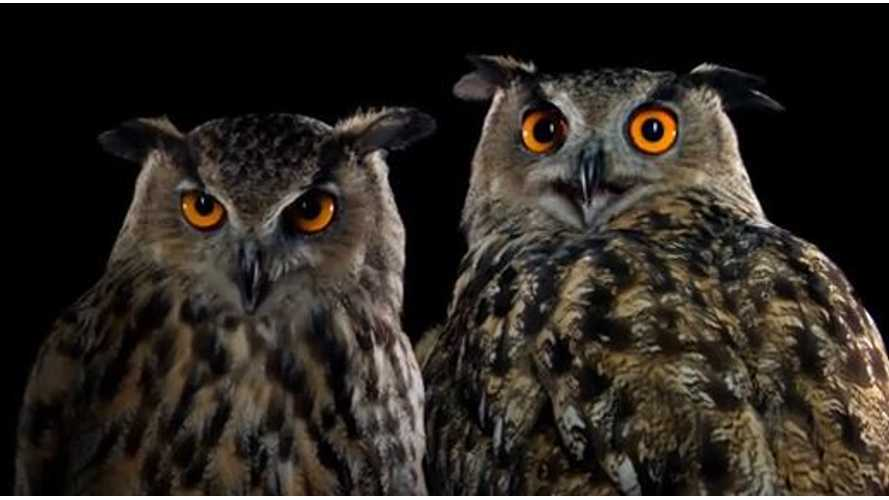 Video: Owls Say