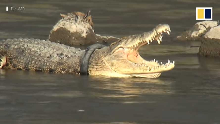 This Crocodile Needs Help Removing A Motorcycle Tire