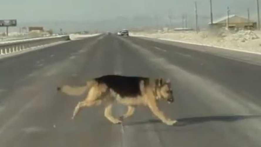 TeslaCam Captures Alert Tesla Driver Who Reacts To Save Dog's Life