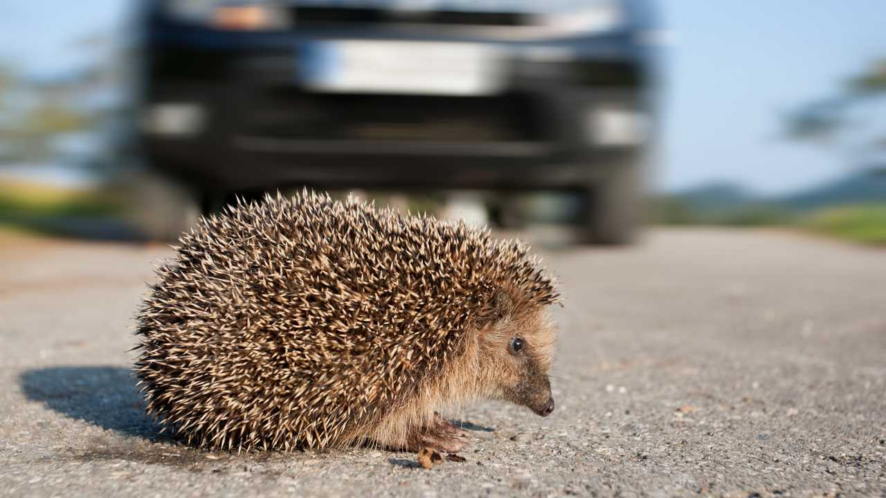 Hedgehog crossing street in front of an oncoming car