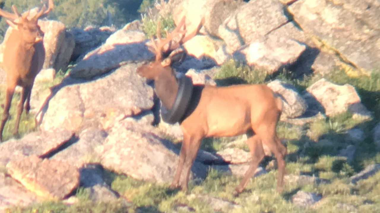 Colorado elk freed from tire around its neck.