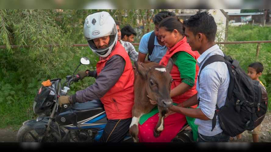 This Man Rescues Stray Cattle On His Motorbike