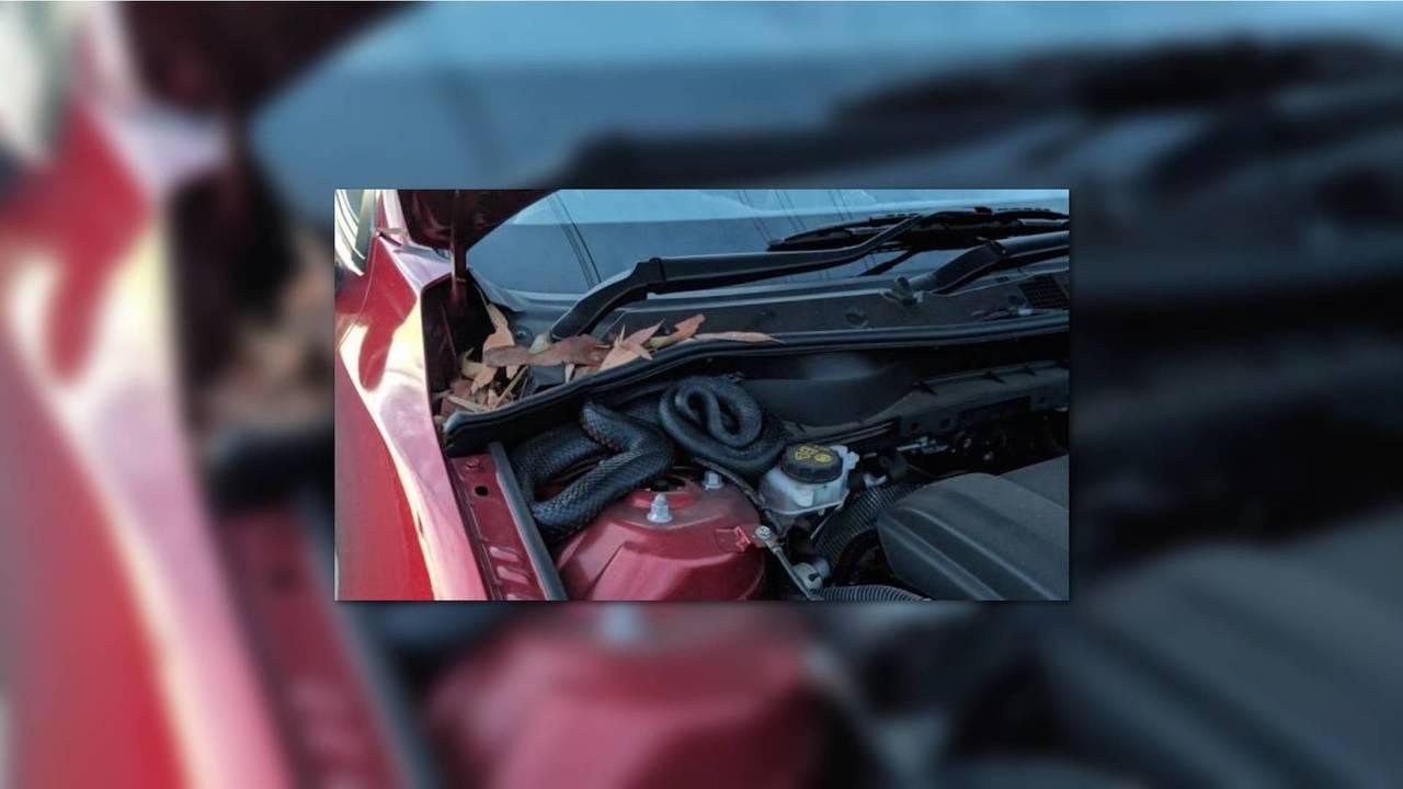 Red-Bellied Snake In Car
