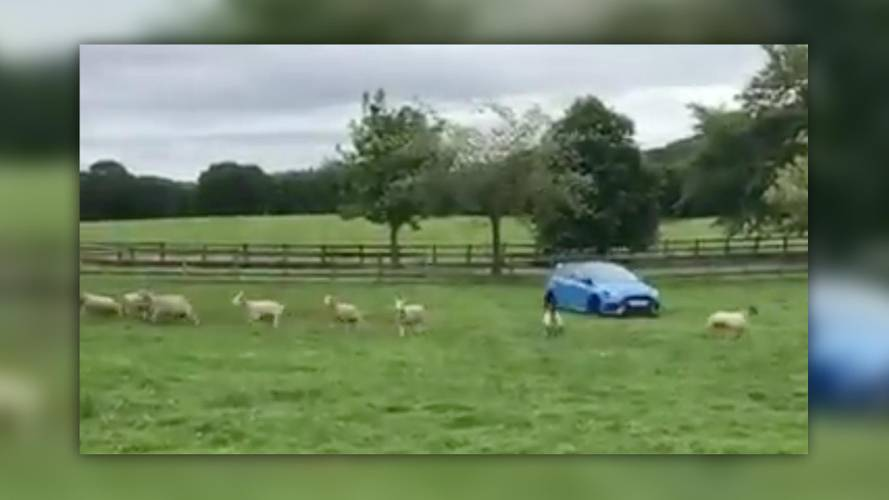 Ford Focus RS Proves You Don't Need A Border Collie To Herd Sheep