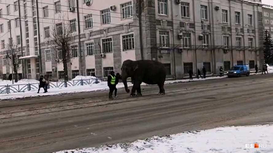На Урале движение в центре мегаполиса перекрыли… слоны