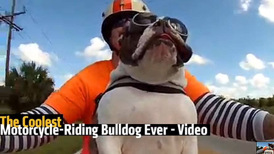The Coolest Motorcycle-Riding Bulldog Ever - Video