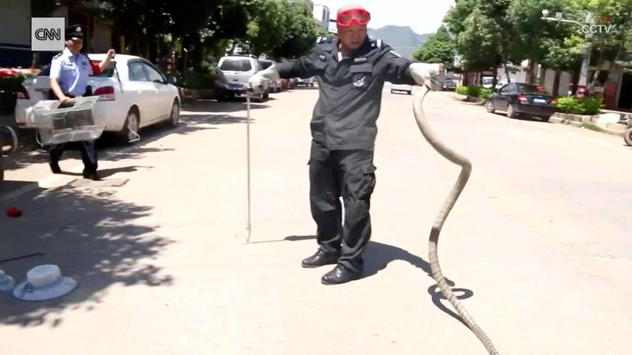 9-Foot King Cobra Emerging From Dashboard Is Pure Nightmare Fuel