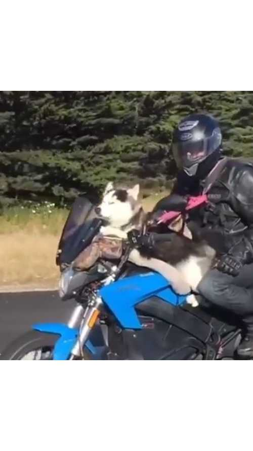 Charger The Dog Takes A Ride On A Zero Electric Motorcycle - Video