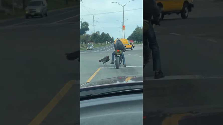 Angry Bird Attacks Motorcylist At Stop Light