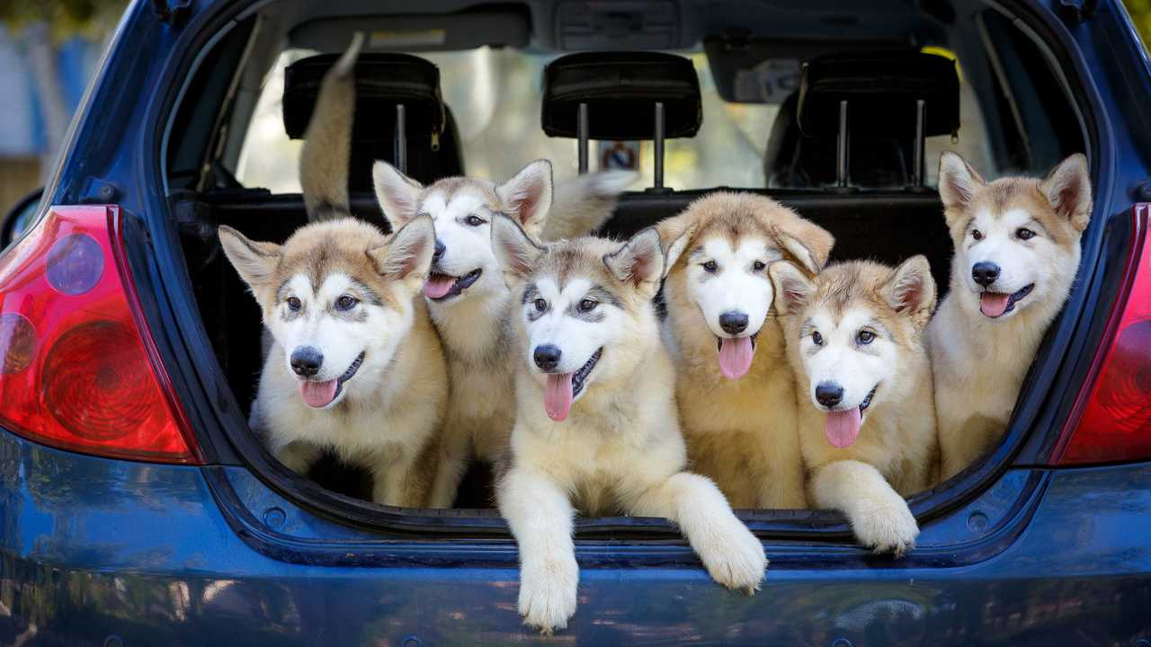 Breeder taking Alaskan Malamute puppy dogs for vaccinations