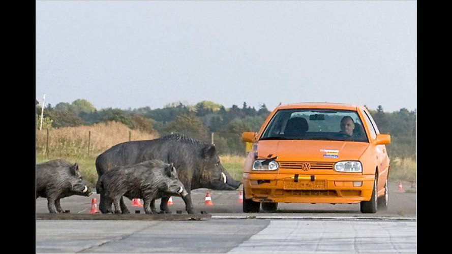 Auto gegen Wildsau