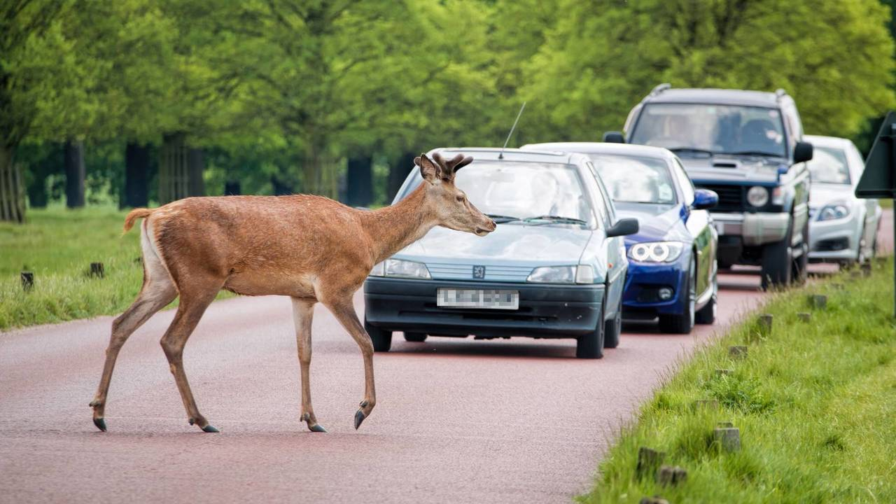 Deer warning as mating season approaches