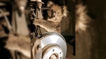 Koala in car