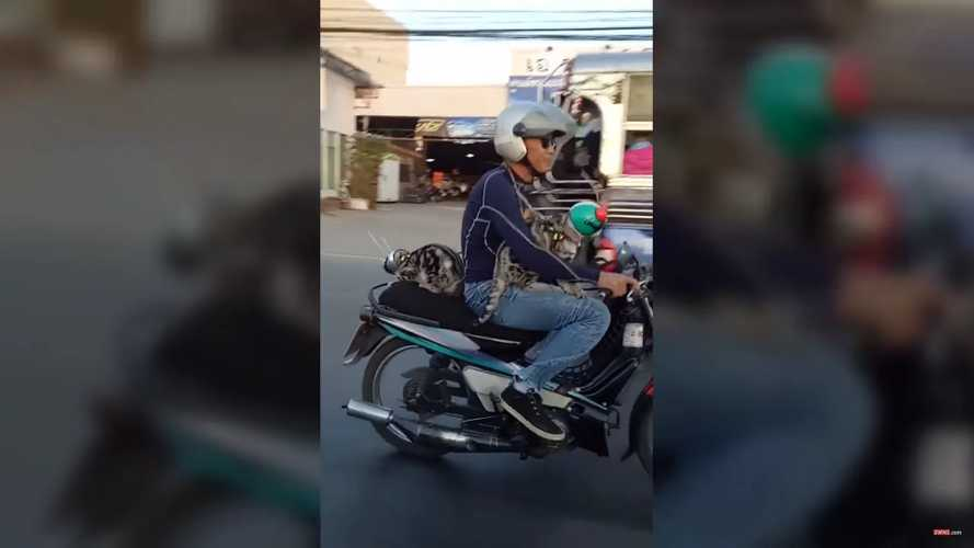 Even The Cats Ride Motorcycles In Thailand