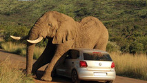 Volkswagen Polo blocked by elephant