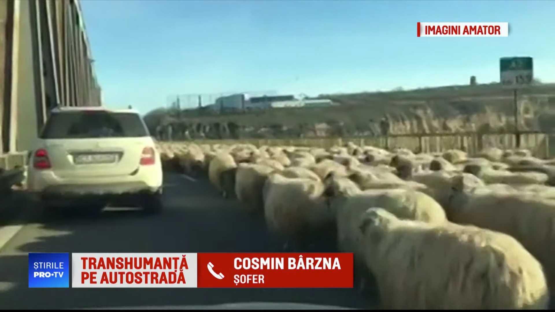 Videó: Székely viccnek tűnik, de nem az: autópályán terelgette a nyáját a pásztor