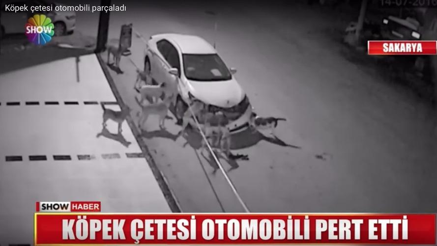 VIDÉO - Insolite, un gang de chiens démonte une voiture
