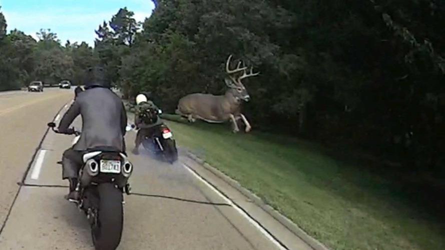 İntihara meyilli geyik motosiklet sürücüsünü öldürüyordu