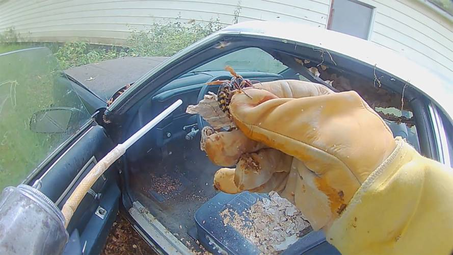 Watch bee man remove giant hornet's nest from El Camino