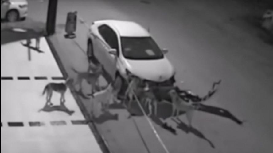 [Copertina] - Auto attaccata dai cani in Turchia, il video è virale