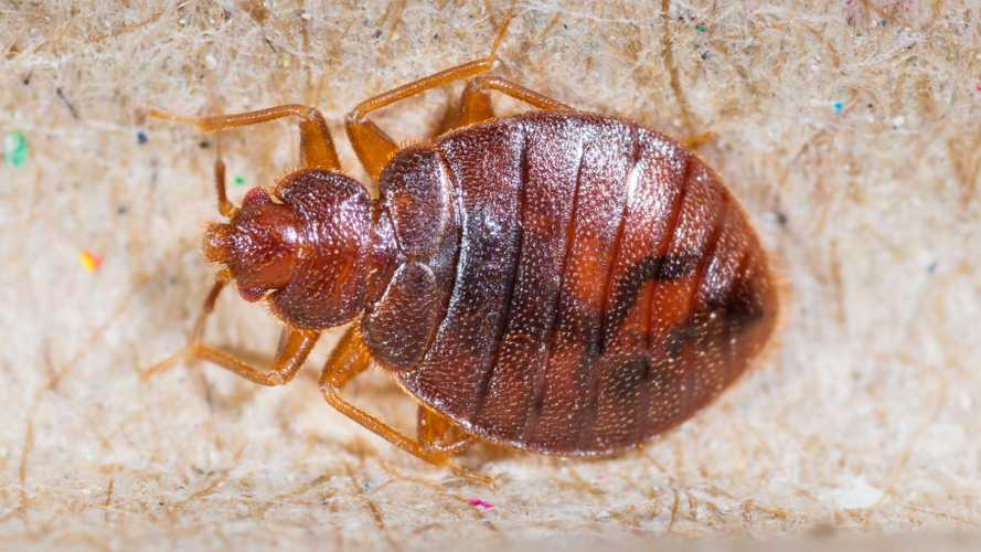 Bed Bugs In Ride Share Vehicles Is Our New Nightmare