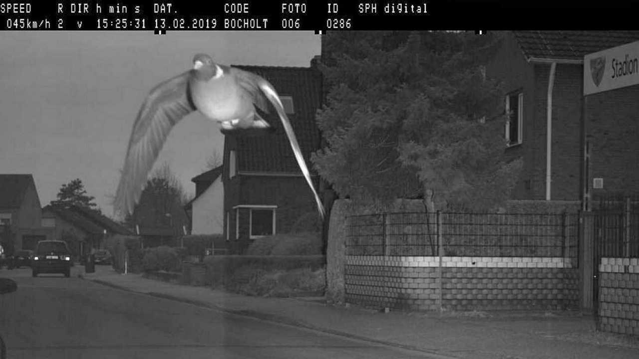 Pigeon flashé au radar