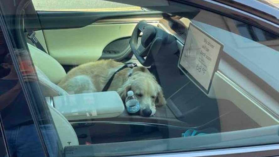 Sleepy Golden Retriever Seen Testing Tesla Model X Plaid Dog Mode